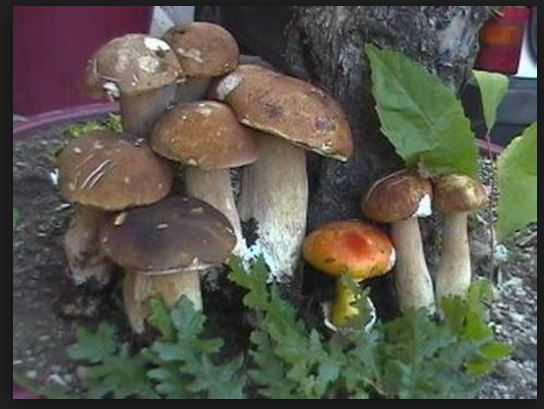 Ancora funghi: belli e profumati